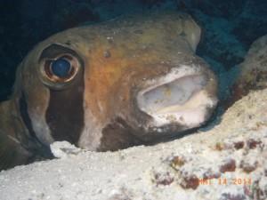 Igelfisch beim Ausruhen/Malediven